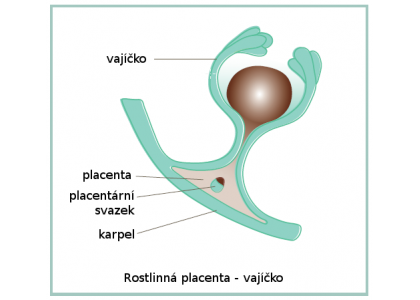 Co je rostlinná placenta?
