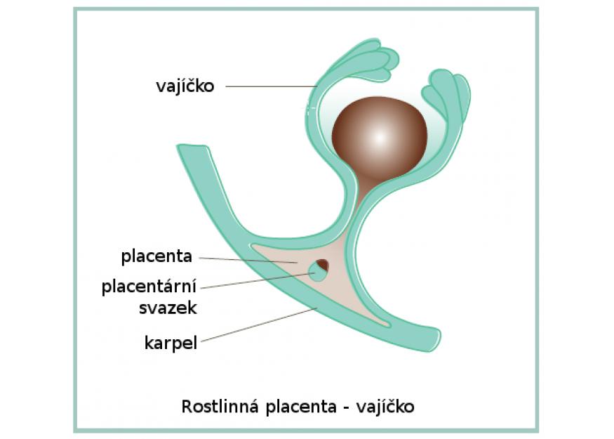 Co je rostlinná placenta?
